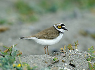 Little Ringed Plover Charadrius dubius L 15-17cm. Slim-bodied little plover that lacks white wingbar. Sexes are similar. Summer adult has sandy brown upperparts and white underparts with black collar and breast band, and black and white markings on head. Has black bill, yellow legs and yellow eyering. Female has duller black elements of head plumage than male. Juvenile has black elements of plumage replaced by sandy brown. Breast band is usually incomplete, leg and eyering colours are dull, and head lacks pale supercilium seen in juvenile Ringed Plover. Voice Utters a pee-oo call. Status Locally fairly common, nesting around margins of flooded gravel pits and other manmade sites. Migrants turn up at freshwater sites outside breeding range and sometimes on coast.