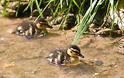 Mallard ducklings in stream in The Cotswolds, Oxfordshire, England, United Kingdom