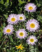A daisy wildflower blooms on Mount Dickerman, Mount Baker-Snoqualmie National Forest, Washington, USA.