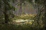 Looking through spruce (Picea abies) branches to coastal forest with pines (Pinus sylvestris), near Žocene, Kurzeme, Latvia Ⓒ Davis Ulands | davisulands.com