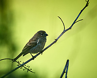 Immature House Finch. Image taken with a Nikon D5 camera and 600 mm f4 VR lens