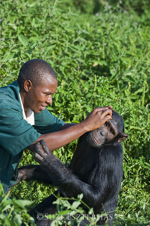 Chimpanzee<br /> Pan troglodytes<br /> Bruce Ainebyona (Caretaker) grooming rescued chimpanzee<br /> Ngamba Island Chimpanzee Sanctuary<br /> *Model release available - release # MR_011<br /> *Captive