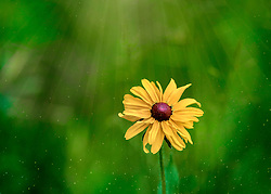 Rudbeckia hirta, commonly called black-eyed Susan, is a species of flowering plant in the family Asteraceae, native to the Eastern and Central United States. It is one of a number of plants with the common name black-eyed Susan.