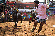 A man runs before a bull charges in the Alanganallur Jallikattu. In six years from 2008 – 2014  43 people died after being gored by a Jallikattu bull and more than a thousand were seriously injuried.
