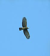 Oriental Honey-buzzard - Pernis ptilorhynchus