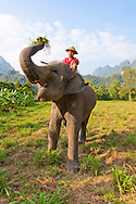Elephant Hills Luxury Tented Camp in the rainforest in Southern Thailand. The Elephant Experience which offers an opportunity to interact, feed and wash the endangered Asian Elephant.  An elephant and his mahout, grazing in a field.
