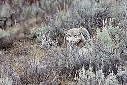 Wolf #820 of the Lamar Pack in Yellowstone National Park blends right in with the Sagebrush.