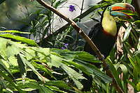 Toucan / Woodland Park Zoo, Seattle