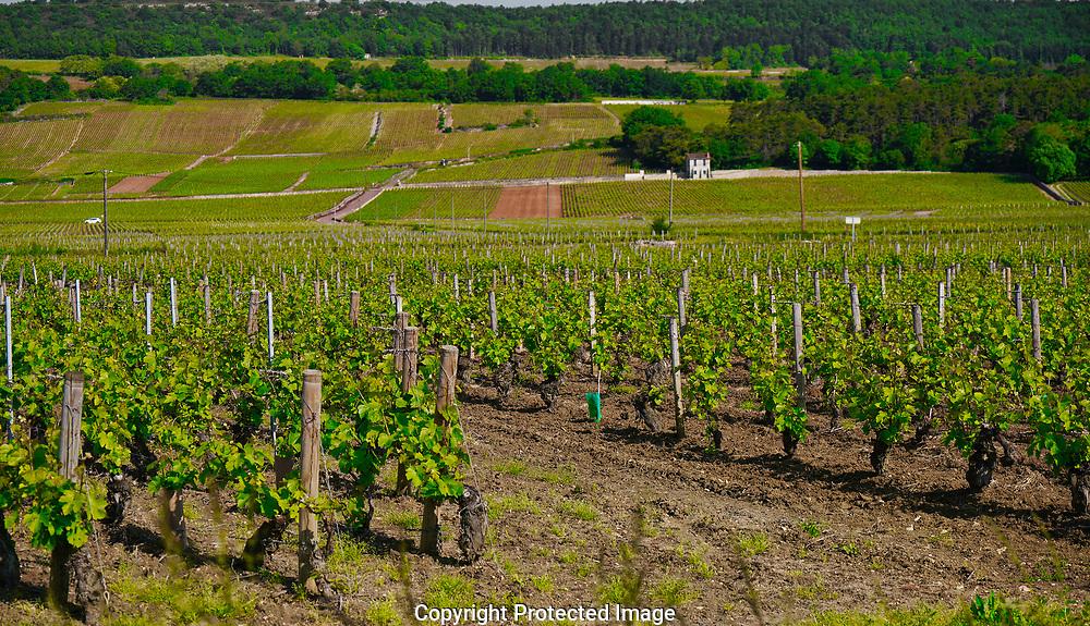 Vine yard near  Volnay France,<br /> Photo by Dennis Brack