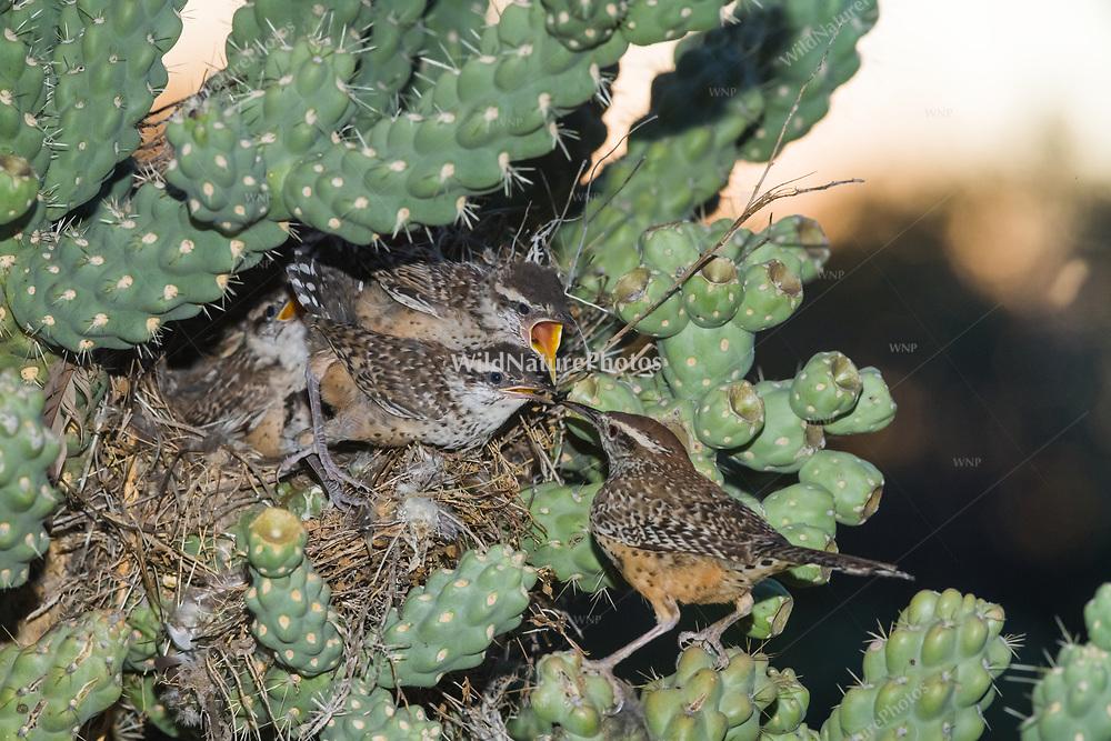 Cactus Wren (Campylorhynchus brunneicapillu) nest in chain-fruit cholla (Cylindropuntia fulgida), adult feeding babies (Arizona)