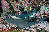 Whitetip Reef Sharks nap in a nook at Roca Partido<br /> <br /> Shot in Mexico