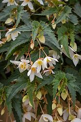 Begonia F1 Funky White