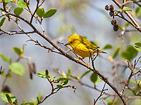 Yellow Warbler (Dendroica petechia) perched in a tree, French Basin trail, Annapolis Royal, Nova Scotia, Canada,