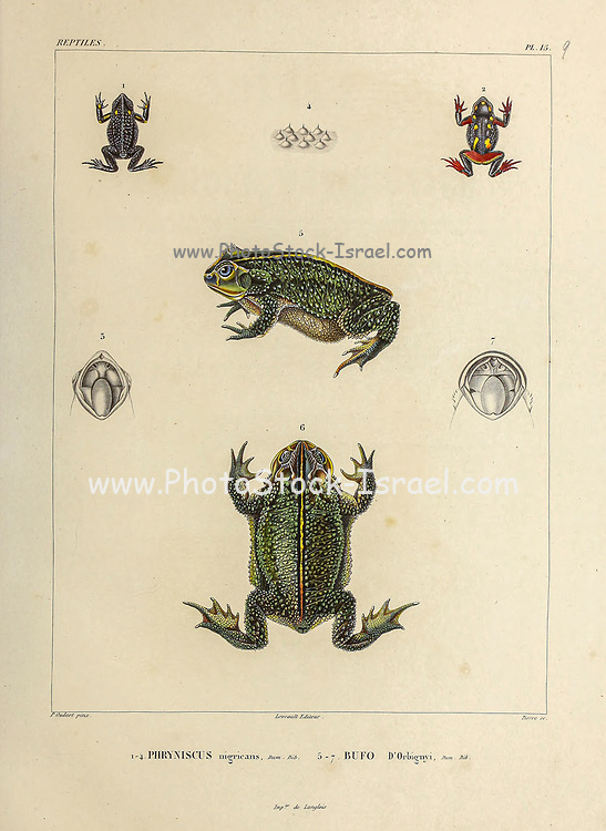 Rhinella spinulosa [Here as Phryniscus nigricans] (Top) and Rhinella dorbignyi is a South American species of toad in the family Bufonidae. [Here as Bufo D'Orbignyi] (Bottom) hand coloured sketch From the book 'Voyage dans l'Amérique Méridionale' [Journey to South America: (Brazil, the eastern republic of Uruguay, the Argentine Republic, Patagonia, the republic of Chile, the republic of Bolivia, the republic of Peru), executed during the years 1826 - 1833] Volume 5 Part 1 By: Orbigny, Alcide Dessalines d', d'Orbigny, 1802-1857; Montagne, Jean François Camille, 1784-1866; Martius, Karl Friedrich Philipp von, 1794-1868 Published Paris :Chez Pitois-Levrault. Publishes in Paris in 1847