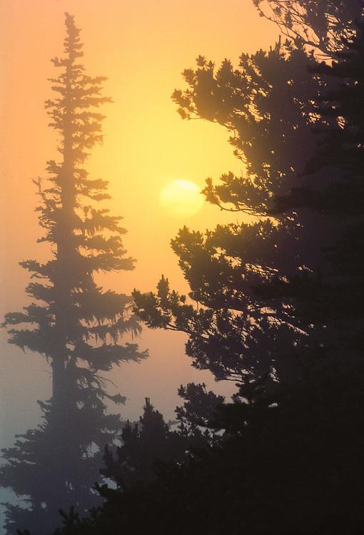 Trees at sunset, Blue Mountain, Olympic National Park, Washington, USA