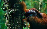 Adult male Bornean Orangutan (known as Jari Manis) in prime condition, feeding on fruits of Diospyros tree.  Gunung Palung National Park, Indonesia.