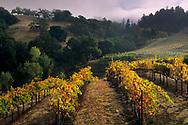 Grape vines in fall below hills at Hanna Vineyards, Alexander Valley, Sonoma County, California