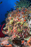 A Warty Frogfish blends in perfectly with its surroundings.<br /> <br /> Shot in Indonesia