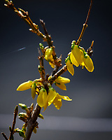 Forsythia Flowers. Image taken with a Fuji X-H1 camera and 200 mm f/2 OIS lens and 1.4x teleconverter (ISO 200, 280 mm, f/11, 1/400 sec).