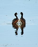 Eared Grebe (Podiceps nigricollis). Arapaho National Wildlife Refuge, Colorado. Image taken with a Nikon D300 camera and 80-400 mm VR lens.