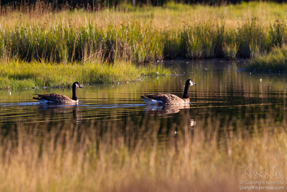 A pair of Canada geese (Branta canadensis) swim in a channel in Edmonds Marsh, Edmonds, Washington.