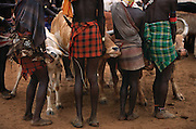 Hamar men hold bullocks still during a bull jump, in South Omo, Ethiopia. The bull jump is a ritual at which a man runs across the backs of a row of bullocks in order to become eligible for marriage. The 40,000-strong, cattle-herding Hamar are among the largest of the 20 or so ethnic groups which inhabit the culturally diverse Omo region in south-west Ethiopia.