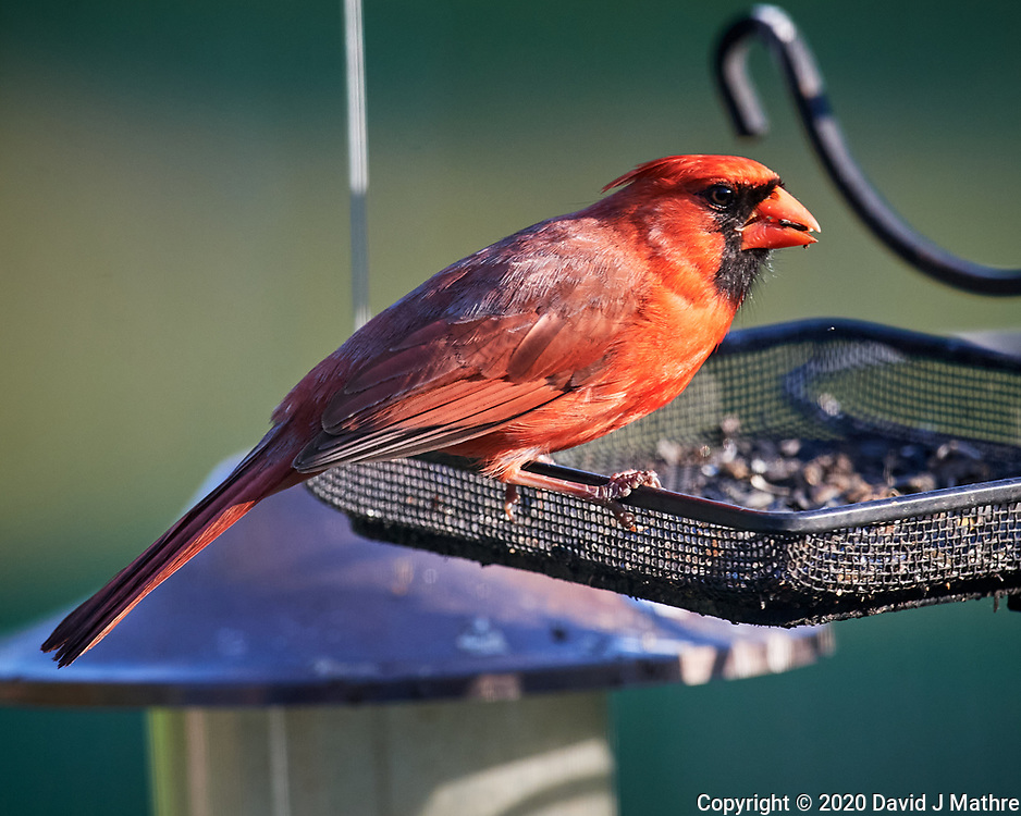Northern Cardinal. Image taken with a Nikon D5 camera and 600 mm f/4 VR telephoto lens (ISO 1110, 600 mm, f/5.6, 1/1250 sec).