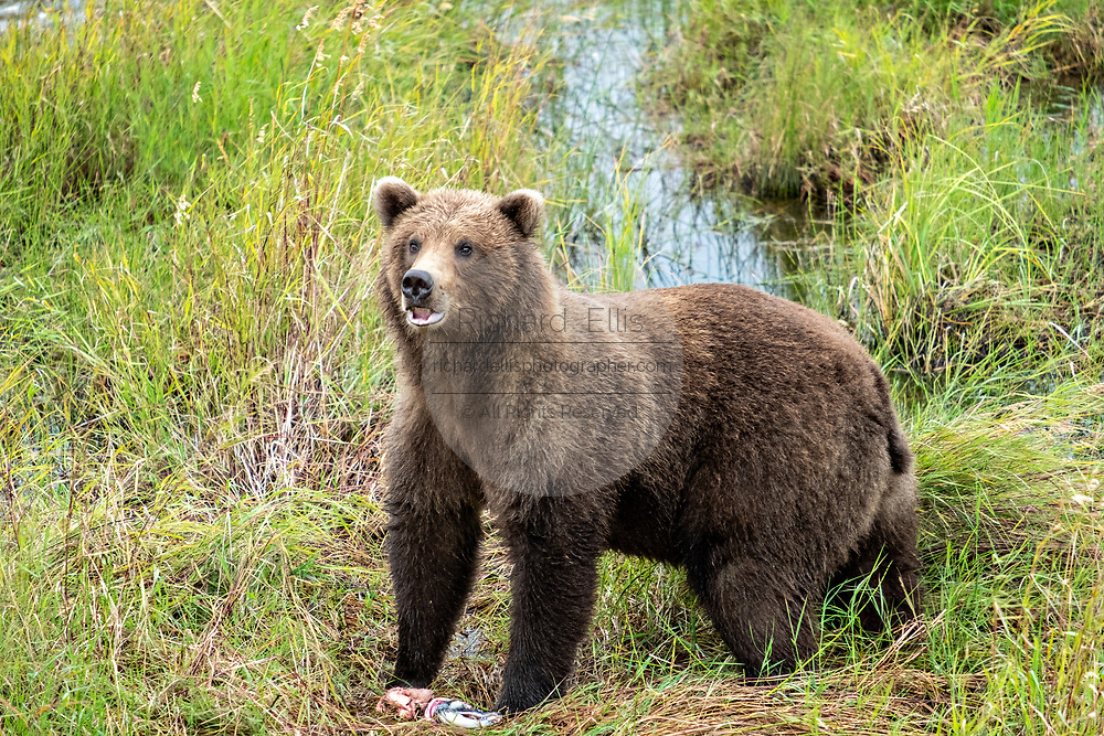 A sub-adult Brown Bear walks through the grasses along the lower Brooks River lagoon in Katmai National Park and Preserve September 16, 2019 near King Salmon, Alaska. The park spans the worlds largest salmon run with nearly 62 million salmon migrating through the streams which feeds some of the largest bears in the world.