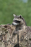 """Waschb‰r, etwa 3 Monate altes Jungtier in einer Baumhˆhle, Hˆhle im Baum, Portrait, Portr‰t, Waschbaer, Wasch-B‰r, Procyon lotor, Raccoon, Raton laveur, """"Frodo"""""""
