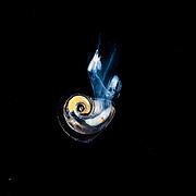 Pelagic Marine Gastropod Mollusk on a blackwater dive in the Sargasso Sea, Atlantic Ocean