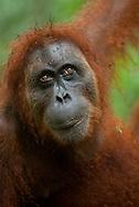Close portrait of a Sumatran orangutan looking up towards the light