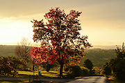 A firey colored tree commands attention along W. Jersey Hill Road in Danby, NY, Tuesday, October 13, 2015.<br /> (Heather Ainsworth for The Syracuse Post-Standard)
