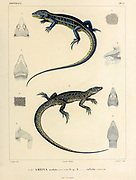 Teius oculatus [Here as Ameiva Oculata and Ameiva Caelestis] hand coloured sketch From the book 'Voyage dans l'Amérique Méridionale' [Journey to South America: (Brazil, the eastern republic of Uruguay, the Argentine Republic, Patagonia, the republic of Chile, the republic of Bolivia, the republic of Peru), executed during the years 1826 - 1833] Volume 5 Part 1 By: Orbigny, Alcide Dessalines d', d'Orbigny, 1802-1857; Montagne, Jean François Camille, 1784-1866; Martius, Karl Friedrich Philipp von, 1794-1868 Published Paris :Chez Pitois-Levrault. Publishes in Paris in 1847
