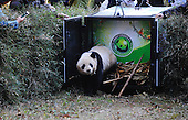 Chinas 5th Human-raised Giant Panda Is Set Free