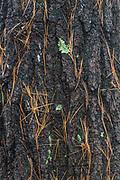 Pine tree bark and needles, lichen, Cheshire County, New Hampshire, USA