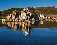 California Gull (Larus californicus). Mono Lake, California. Image taken with a Nikon D3s camera and 50 mm f/1.4 lens.