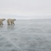 Polar bear (Ursus maritimus) pair on the ice in Churchill, Manitoba, Canada.