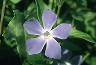 GREATER PERIWINKLE Vinca major (Apocynaceae) Height to 1m. Woody, trailing evergreen perennial of woods and hedges. FLOWERS are 4-5cm across with 5 bluish violet lobes that are acutely truncated on the outer margin; on slender stalks, the calyx lobes having hairy margins (Mar-May). FRUITS are capsules. LEAVES are ovate, shiny, dark green, stalked and in opposite pairs. STATUS-Naturalised.