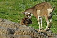 Shepherd with his sheep and a goat, Dolni Glavanak, Eastern Rhodope mountains, Bulgaria