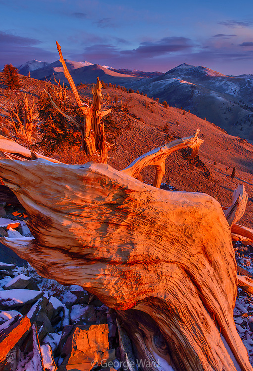 Ancient Bristlecone Pine Snag at Dawn, The White Mountains, Inyo National Forest, California