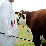 A farmer wearing a white coat with a certificate and rosette in his pocket shows his prize Hereford bull at Tenbury Agricultural Show, Worcestershire, UK