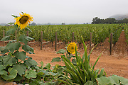 Sunflowers near Oakville winery