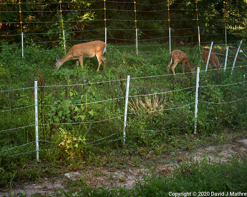 Doe and two fawns with spots. Image taken with a Leica CL camera and 18 mm f/2.8 lens