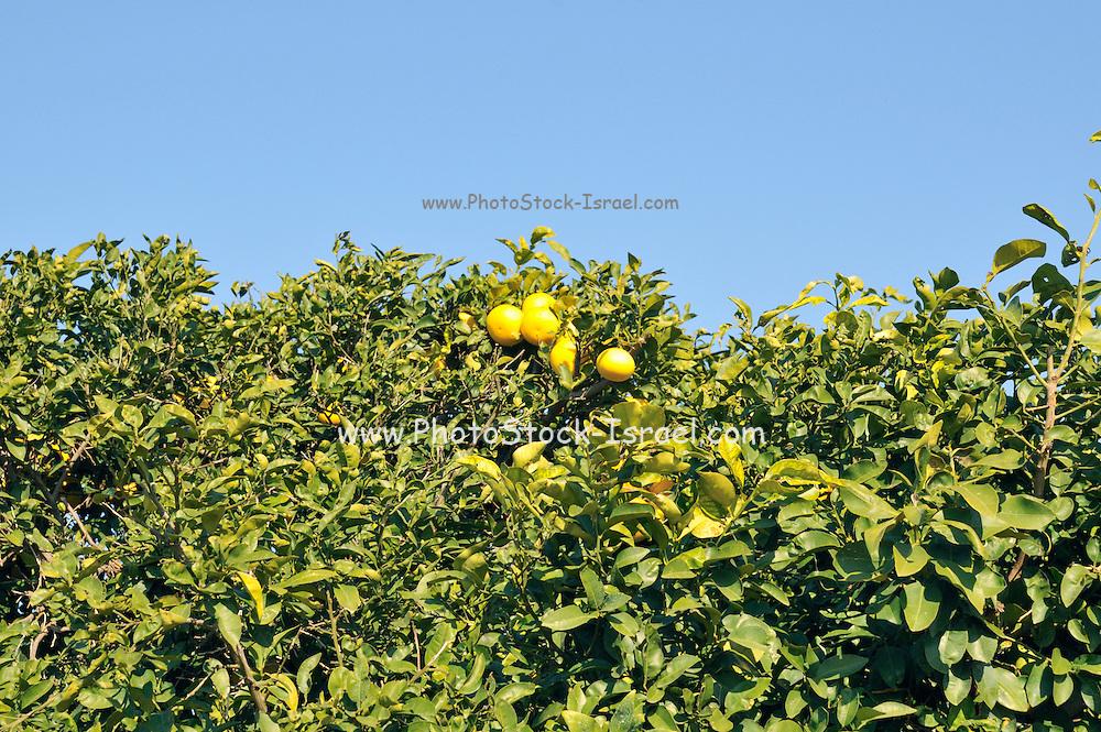 Israel, Sharon district, Citrus Grove Grapefruit trees