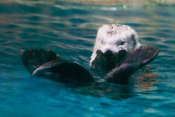 southern sea otter or California sea otter, Enhydra lutris nereis, endangered species, North East Pacific Ocean (c)