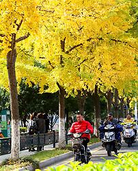November 22, 2018 - Suzhou, Suzhou, China - Suzhou,CHINA-Golden ginkgo trees at Dinghui Temple in Suzhou, east China's Jiangsu Province. (Credit Image: © SIPA Asia via ZUMA Wire)