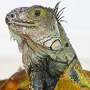 20151211 Snakes and Iguana