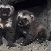 Wolverine, (Gulo gulo) Young kits at entrance to den. Early spring. Rocky mountains. Montana. Captive Animal.