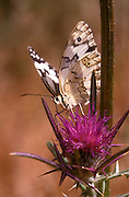 Marble White (Melanargia titea titania) on a flower. Photographed in Israel in May