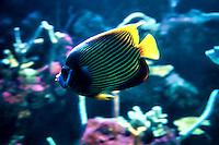 Stripey (Microcanthinae)